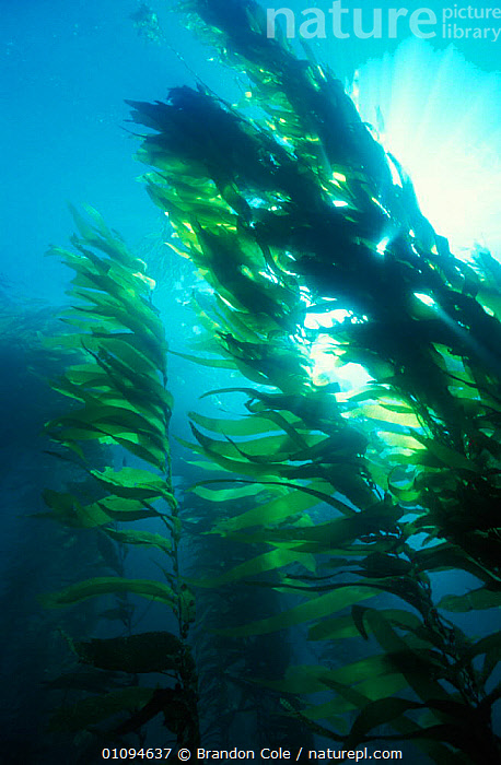 Looking up through Giant kelp forest {Macrocystis pyrifera} California USA Pacific Ocean. NOT FOR SALE IN USA  ,  AMERICA,AQUATIC,ATMOSPHERIC,BCO,CHANNEL,ECOSYSTEM,HABITAT,ISLANDS,MARINE,NORTH,PEACEFUL,PLANTS,SEA,TEMPERATE,UNDERWATER,VERTICAL,CONCEPTS, SEAWEED  ,  Brandon Cole