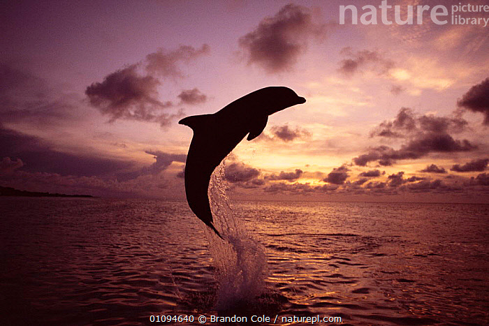 Bottlenose dolphin {Tursiops truncatus} leaping at sunset, Honduras, Roatan, Caribbean NOT FOR SALE IN USA  ,  ACTION,ATMOSPHERIC,BCO,BOTTLENOSED,BREACHING,CAPTIVE,CETACEANS,DUSK,EVENING,FUN,GRACEFUL,HORIZONTAL,JUMPING,MAMMALS,MARINE,MOVEMENT,OCEAN,PLAY,PLAYING,SEA,SILHOUETTES,SKIES,SKY,SPLASH,SPLASHING,SURFACE,TRAINED,TROPICAL,COMMUNICATION,DOLPHINS, Mammals,CENTRAL-AMERICA  ,  Brandon Cole