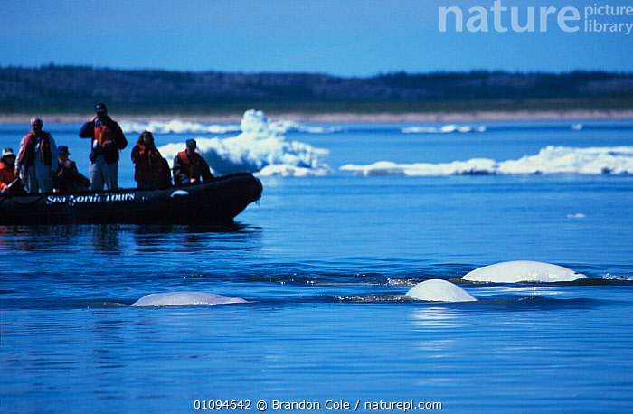 People watching Beluga whales {Delphinapterus leucas} Hudson Bay, Churchill, Canada, North America. NOT FOR SALE IN USA  ,  ARCTIC,ATLANTIC,BCO,BOATS,CANADIAN,CANARIES,CETACEAN,CETACEANS,ECOTOURISM,GROUPS,HORIZONTAL,ICE,INFLATABLE,MAMMAL,MAMMALS,MANITOBA,MARINE,OCEAN,SEA,SHIPS,SUFACE,SURFACING,TOURISM,TOURISTS,WATER,WILD,NORTH AMERICA,CANADA  ,  Brandon Cole