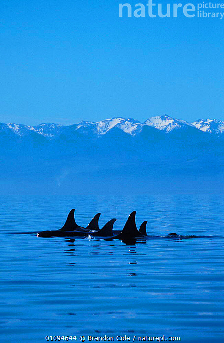 Pod of Killer whales at sea surface {Orcinus orca} San Juan Islands, Washington, North America.  NOT FOR SALE IN USA  ,  AQUATIC,BCO,CETACEAN,CETACEANS,COASTAL,COASTS,FAMILIES,GROUPS,LANDSCAPE,LANDSCAPES,MAMMAL,MAMMALS,MARINE,MOUNTAINS,OCEAN,PACIFIC,PODS,SCENIC,SEA,SURFACE,SWIMMING,TOOTHED,TRAVELLING,VERTICAL  ,  Brandon Cole