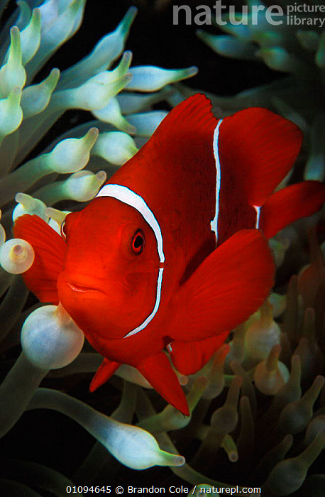 Portrait of Spine cheeked anemonefish {Premnas biaculeatus} Milne Bay, Papua New Guinea. NOT FOR SALE IN USA  ,  ANEMONE,AQUATIC,BCO,CONCEPTS,CORAL REEFS,INDO PACIFIC,MARINE,ONE,ORANGE,OSTEICHTHYES,PARTNERSHIP,PORTRAITS,SEA,STRIPES,SYMBIOSIS,SYMBIOTIC,TROPICAL,VERTICAL, Partnership  ,  Brandon Cole