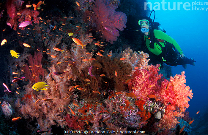 Woman Scuba diver exploring coral reef, ecotourism, Fiji, South Pacific. NOT FOR SALE IN USA  ,  AQUATIC,BCO,BLUE,CONCEPTS,CORALS,DIVER,ECOTOURISM,EXPLORATION,FEMALES,HOLIDAYS,HORIZONTAL,MARINE,PEOPLE,REEFS,SCUBA,SEA,SPORT,SWIMMING,TROPICAL,UNDERWATER,WOMAN  ,  Brandon Cole