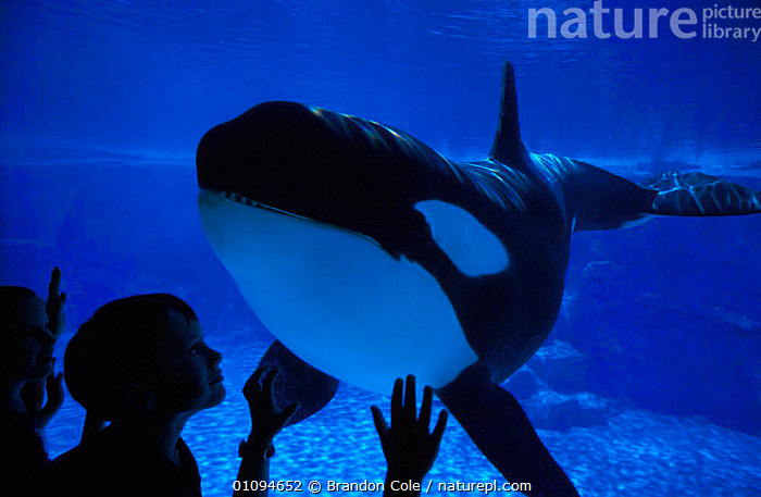 Children in aquarium viewing Killer whale {Orcinus orca} marine aquarium, USA. NOT FOR SALE IN USA, FOR EDITORIAL USE ONLY  ,  AMERICA,ATTRACTION,BCO,CAPTIVE,CAPTIVITY,CETACEAN,CETACEANS,CHILDREN,COMMUNICATION,DOLPHINARIA,EDUCATION,ENTERTAINMENT,FRIENDSHIP,HORIZONTAL,INTERACTION,MAMMAL,MAMMALS,MARINE,NORTH,PEOPLE,SEA,TOOTHED,WHALES,WORLD,YOUNG,CONCEPTS  ,  Brandon Cole