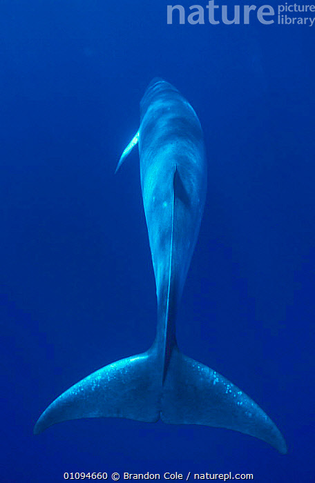 Rear view of Dwarf minke whale from above {Balaenoptera acutorostrata subspecies} Great Barrier Reef, Australia. NOT FOR SALE IN USA  ,  AQUATIC,BACK,BACKS,BCO,BLUE,CETACEAN,CETACEANS,FLUKES,LEVIATHAN,MAMMAL,MAMMALS,MARINE,NEW,OCEAN,ONE,PACIFIC,PORTRAITS,RARE,SEA,TAILS,TROPICAL,USA,NORTH AMERICA,,Baleen whale,  ,  Brandon Cole