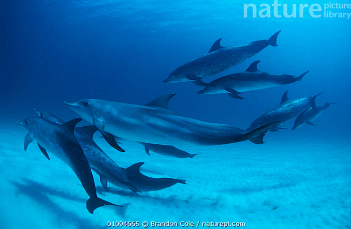Group of Atlantic spotted dolphins {Stenella frontalis} Caribbean Bahamas Atlantic Ocean. NOT FOR SALE IN USA  ,  AQUATIC,BCO,CARIBBEAN,CETACEAN,CETACEANS,COMMUNICATION,DOLPHIN,FAMILIES,FUN,GROUPS,HORIZONTAL,MAMMAL,MAMMALS,MARINE,PLAY,PLAYFUL,PLAYING,SAND,SEA,SHALLOW,SWIMMING,TROPICAL,UNDERWATER,WATER,DOLPHINS,West Indies, Mammals  ,  Brandon Cole