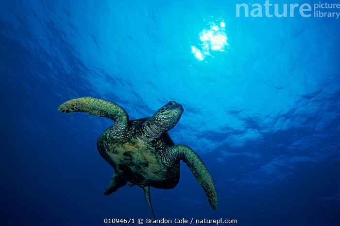 Green turtle {Chelonia mydas} swimming below sea surface, Hawaii,  Pacific Ocean, Endangered species. NOT FOR SALE IN USA  ,  TURTLES,AQUATIC,BCO,BLUE,CONCEPTS,FLIPPERS,HORIZONTAL,MARINE,OPEN,OUTSTANDING,PEACEFUL,PORTRAITS,REPTILES,SEA,THREATENED,TROPICAL,UNDERWATER,WATER,WILD,Chelonia, Turtles  ,  Brandon Cole