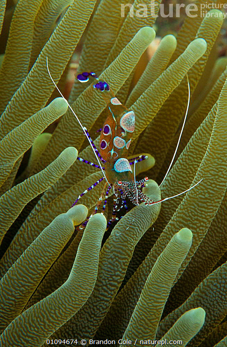 Spotted cleaner shrimp {Periclimenes yucatanicus} amongst sea anemone tentacles, Dominica Caribbean Sea. NOT FOR SALE IN USA  ,  AQUATIC,BCO,CARIBBEAN,CLOSE UPS,COMMENSALISM,CORAL REEFS,CORALS,CRUSTACEANS,D,DIG,DIGITAL,IMAGE,INVERTEBRATES,,MARINE,PORTRAITS,SEA,SYMBIOSIS,SYMBIOTIC,TROPICAL,UNDERWATER,USA,VERTICAL ,MACRO,NORTH AMERICA,CONCEPTS,PARTNERSHIP,West Indies, Partnership, Partnership, Partnership, Partnership, Partnership, Partnership, Partnership  ,  Brandon Cole