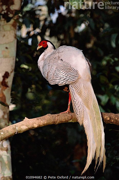 Silver pheasant {Lophura nycthemera}  Yunnan, China  ,  BIRD,BIRDS,CAPTIVE,CHINA,CHINESE,ONE,PO,TAILS,VERTICAL,WHITE,ASIA  ,  Pete Oxford