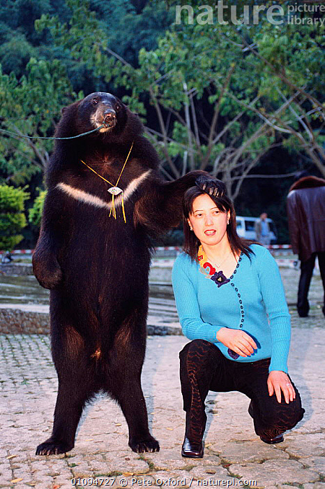 Asiatic black bear performing for tourists {Ursus thibetanus} Xishuangbanna, Yunnan, China. 2002  ,  ASIA,BEAR,CARNIVORES,CRUELTY,ENTERTAINMENT,MAMMALS,PEOPLE,PO,TOURISM,TOURISTS,VERTICAL,WORKING,CHINA  ,  Pete Oxford