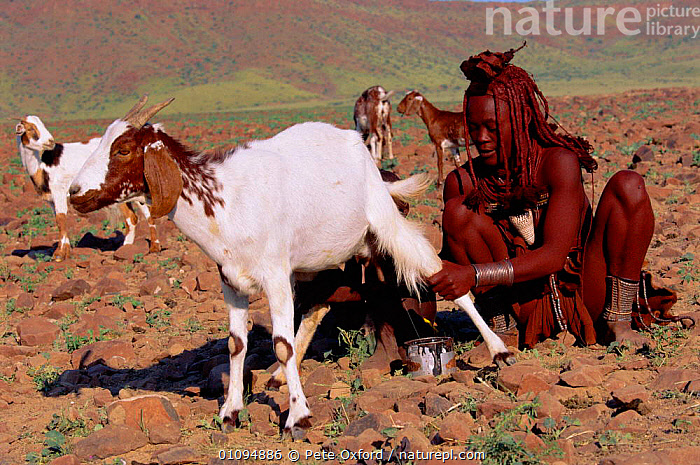 Himba woman milking goat, Kaokoland, Namibia, Southern Africa  ,  GOAT,HIMBA,HORIZONTAL,LIVESTOCK,MAMMALS,PEOPLE,PO,SOUTHERN AFRICA,TRADITIONAL,TRIBES,WOMAN  ,  Pete Oxford