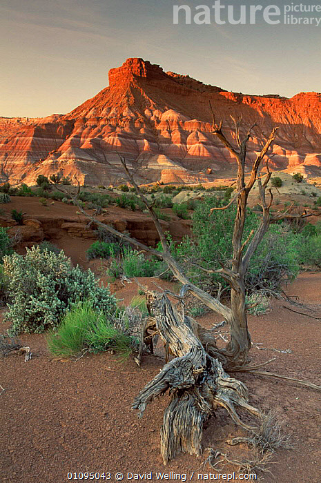Sandstone cliffs and chinle formations at sunset, near Paria Canyon, Utah, USA  ,  CLIFFS,EROSION,GEOLOGY,HABITAT,LANDSCAPES,NORTH AMERICA,PLANTS,ROCK FORMATIONS,ROCKS,TREES,USA,VERTICAL  ,  David Welling