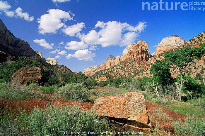 Looking up at sandstone rock canyon formation, Zion National Park, Utah, USA  ,  canyons,LANDSCAPES,NORTH AMERICA,NP,PLANTS,ROCK FORMATIONS,ROCKS,sandstone,TREES,USA,valleys,Geology,National Park  ,  David Welling