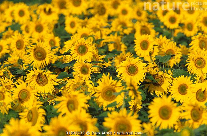 Sunflowers {Helianthus annuus} Germany  ,  GROUPS,HORTICULTURE,FLOWERS,HORIZONTAL,ARTY SHOTS,EUROPE,CROPS,YELLOW,PLANTS  ,  Ingo Arndt
