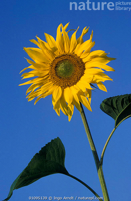Sunflower {Helianthus annuus} Germany  ,  HORTICULTURE,FLOWERS,ARTY SHOTS,EUROPE,CROPS,YELLOW,VERTICAL,PORTRAITS,PLANTS  ,  Ingo Arndt
