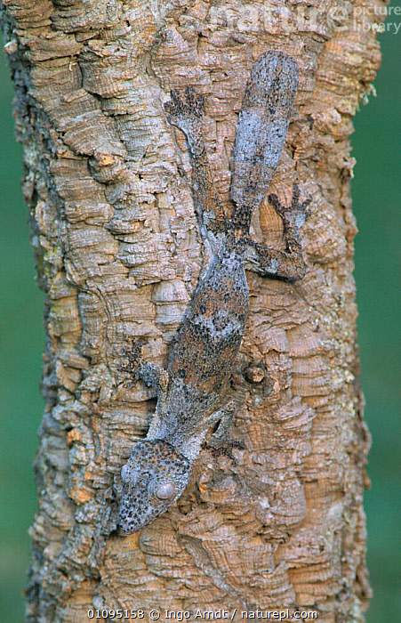 Leaf tailed gecko on tree trunk {Uroplatus fimbriatus} Madagasca  ,  CAMOUFLAGE, MADAGASCAR, PLANTS, REPTILES, GECKOS, LIZARDS, TREES, TRUNKS, VERTEBRATES, VERTICAL  ,  Ingo Arndt
