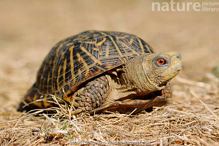 Ornate box turtle {Terrapene ornata} USA  ,  TURTLES,AMERICA,CHELONIA,HORIZONTAL,IAR,NORTH,NORTH AMERICA,REPTILES,USA, Turtles  ,  Ingo Arndt