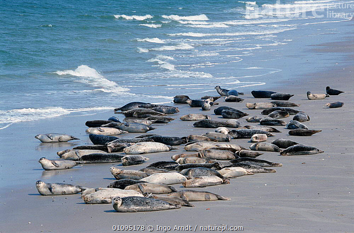 Common seals hauled up on beach {Phoca vitulina} Helgoland, Germany  ,  BEACH,BEACHES,COASTS,EUROPE,EUROPEAN,GERMANY,GROUPS,HELGOLAND,HORIZONTAL,IAR,INGO,MAMMALS,PINNIPEDS,WILDLIFE  ,  Ingo Arndt