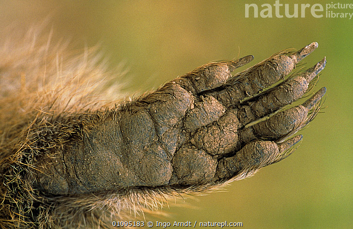 Close up of front foot of Alpine marmot {Marmota marmota} Hohe Tauern NP, Austria  ,  ALPS,CLAWS,CLOSE UPS,DIGITS,EUROPE,FEET,MAMMALS,MARMOTS,NP,RESERVE,RODENTS,VERTEBRATES,National Park  ,  Ingo Arndt