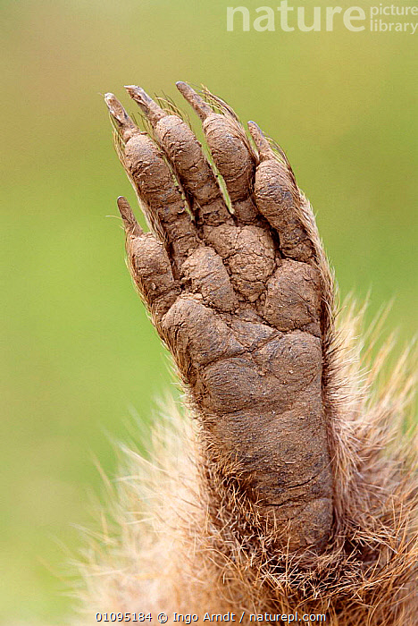 Alpine marmot foot close up {Marmota marmota}  Austria  ,  CLAWS,CLOSE UP,CLOSE UPS,DIGITS,EUROPE,FEET,IAR,MAMMALS,RODENT,RODENTS  ,  Ingo Arndt