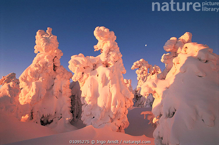 Trees covered with snow, Brocken, Harz NP, Germany. Sunrise sequence  ,  COLD,CONIFEROUS,DAWN,LANDSCAPES,MOON,RESERVE,TREES,WINTER,WOODLANDS,Plants,Europe  ,  Ingo Arndt