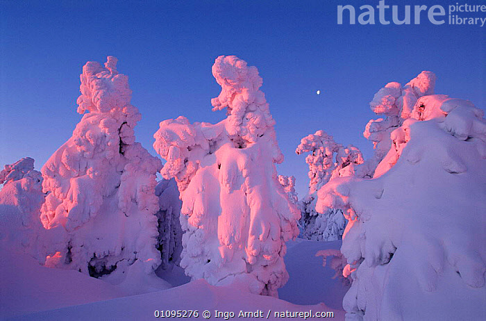 Trees covered with snow Sunrise sequence, Brocken, Harz NP, Germany  ,  COLD,CONIFEROUS,DAWN,HORIZONTAL,IAR,NATIONAL PARK,NP,OUSTANDING,PLANTS,RESERVE,SEQUENCE,SNOW,SUNRISE,TREES,WINTER,WOODLANDS,Europe  ,  Ingo Arndt