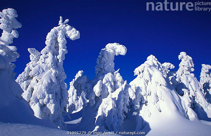 Trees covered with snow Brocken, Harz NP, Germany  ,  RESERVE,WOODLANDS,WINTER,CONIFEROUS,COLD,HORIZONTAL,MOON,LANDSCAPES,Europe  ,  Ingo Arndt