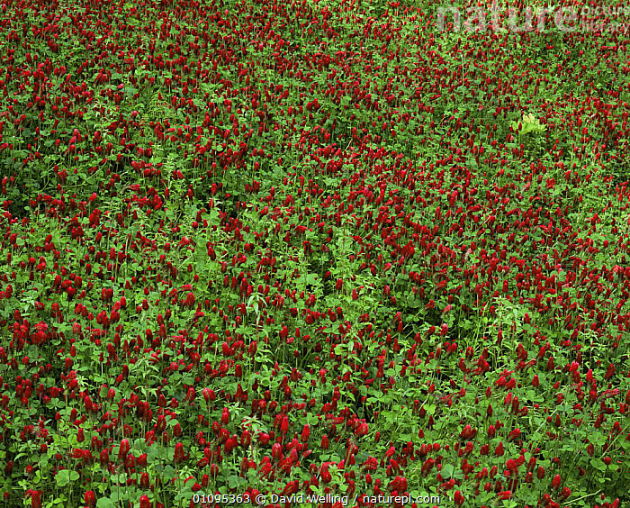 Looking down on a bed of Crimson clovers {Trifolium incarnatum} in Redwoods National Park, California  ,  DICOTYLEDONS,FABACEAE,FLOWERS,GROUPS,LEGUME,NP,PLANTS,RED,RESERVE,USA,North America,National Park  ,  David Welling