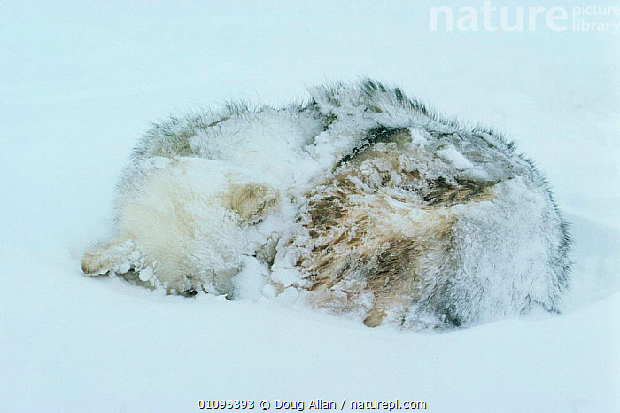 Husky dog sleeping after blizzard, Lancaster Sound, Canadian Arctic  ,  ARCTIC,ASLEEP,BLIZZARDS,CANADA,COLD,DOGS,DOMESTIC,DOMESTICATED,ICE,MAMMALS,NORTH AMERICA,SLEEPING,SNOW,WEATHER,WORKING , PETS  ,  Doug Allan