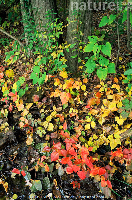 Broadleaved woodland with understorey vegetation in autumn, Central Pennysylvania, USA  ,  AUTUMN,COLOURFUL,HABITAT,LEAVES,NORTH AMERICA,PLANTS,TEMPERATE,TREES,UNDERSTOREY,USA,VERTICAL,WOODLANDS , understory  ,  Niall Benvie