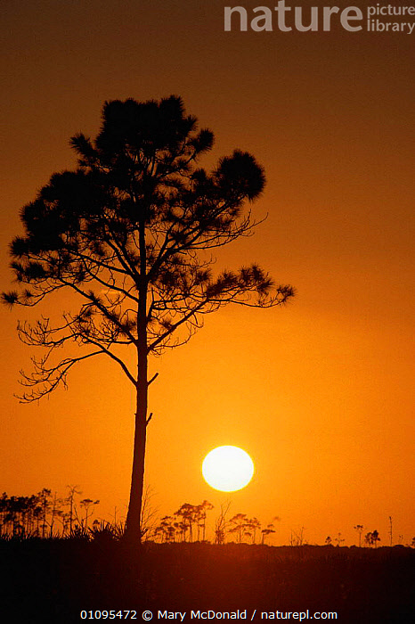 Sunrise at the Everglades National Park, Florida, USA  ,  DAWN,LANDSCAPES,NORTH AMERICA,SILHOUETTES,SUN,SUNRISE,TREES,USA,VERTICAL,WETLANDS,Plants  ,  Mary McDonald