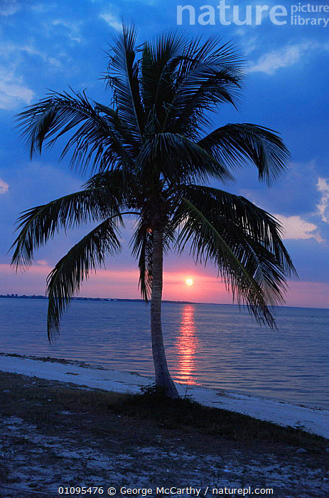 Sunset and palm tree at Fort Myers Beach, Florida, USA  ,  BEACHES,COASTAL WATERS,COASTS,DUSK,HOLIDAYS,LANDSCAPES,MARINE,NORTH AMERICA,sea,SILHOUETTES,SUN,SUNSET,TREES,USA,VERTICAL,Concepts,Plants  ,  George McCarthy