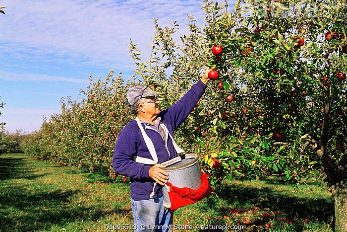 Man picks apple trees from orchard, North Illinois, USA  ,  CROPS,FRUIT,HARVESTING,MAN,monocultures,NORTH AMERICA,orchards,PEOPLE,picking,PLANTS,TREES,USA  ,  Lynn M Stone