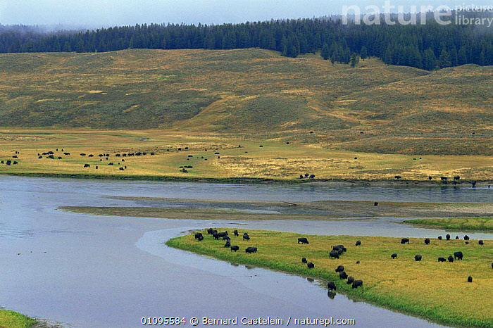 Large herd of Bison grazing (Bison bison) in Hayden Valley, near Yellowstone River, Yellowstone NP, Wyoming, USA  ,  ARTIODACTYLA,FEEDING,GROUPS,LANDSCAPES,MAMMALS,NORTH AMERICA,NP,RESERVE,RIVERS,USA,WATER,National Park  ,  Bernard Castelein