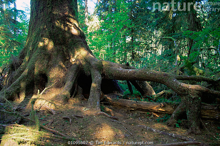Hoh tree with elevated roots having grown from nurse log, Olympic NP, Washington, USA  ,  AERIAL,BARK,NORTH AMERICA,NP,NURSELOG,ROOTS,TEMPERATE RAINFOREST,TREES,USA,Plants,National Park  ,  Tim Edwards