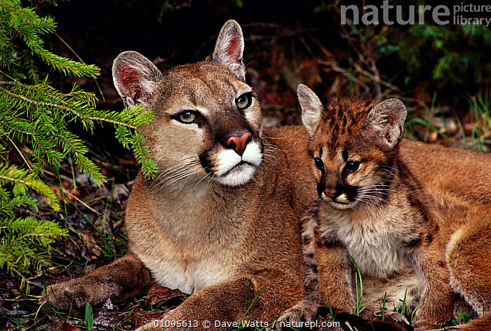 Puma with kitten {Felis concolor}. Also known as mountain lion or cougar., BABIES,CARNIVORES,CUTE,DWA,FAMILIES,HORIZONTAL,MAMMALS,YOUNG, Dave Watts