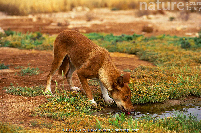 Dingo male drinking {Canis dingo} Australia  ,  AUSTRALIA, CANIDS, CARNIVORES, DOGS, DRINKING, HORIZONTAL, MALES, MAMMALS, VERTEBRATES  ,  Dave Watts