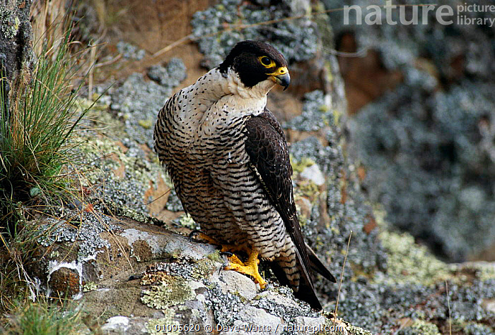 Peregrine falcon female {Falco peregrinus} Tasmania, Australia  Tasmanian peregrines largest in world  ,  AUSTRALIA,,BIRDS,DWA,FEMALES,HORIZONTAL,RAPTOR,TASMANIA,VERTICAL ,BIRDS OF PREY  ,  Dave Watts