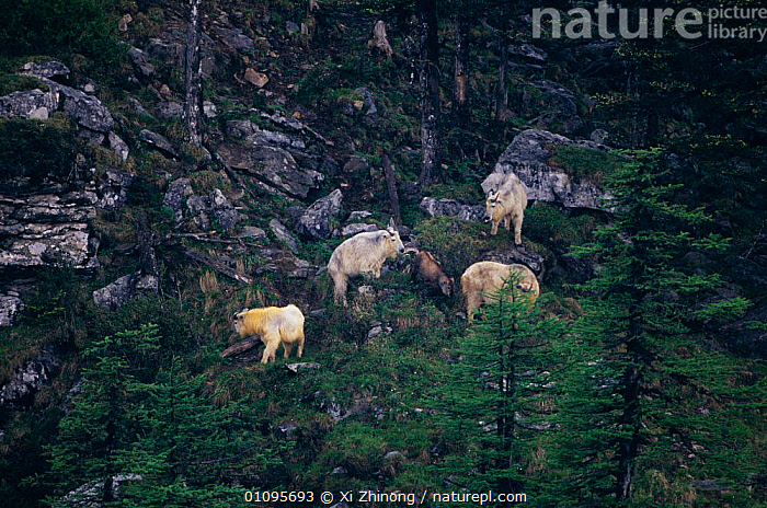 Takin family group on hillside {Budorcas taxicolor} Mt Qinling, Shaanxi, China, ALPINE,ARTIODACTYLA,CHINA,FAMILIES,FAMILY,GROUPS,HILLSIDE,HORIZONTAL,LANDSCAPES,MAMMALS,MOUNTAINS,XZ,ASIA,Catalogue1, Xi Zhinong