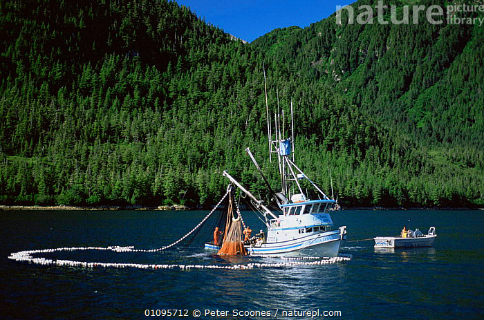 Boats fishing in coastal waters, purse Seine fishing for salmon, Alaska, USA  ,  BOATS,COASTAL WATERS,COASTS,FISH,FISHERIES,HUNTING FOOD,INDUSTRY,NETS,NORTH AMERICA,SALMON,USA  ,  Peter Scoones
