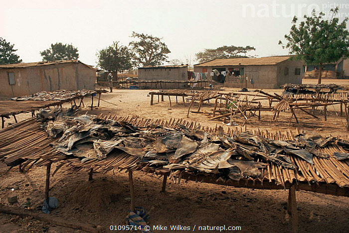 Fish drying in sun, Tanji fishing village, Gambia, West Africa  ,  AFRICA,BUILDINGS,DRYING,FISH,FOOD,HUNTING FISH,PEOPLE,RURAL,TRADITIONAL,VILLAGES,WEST AFRICA,WEST-AFRICA  ,  Mike Wilkes