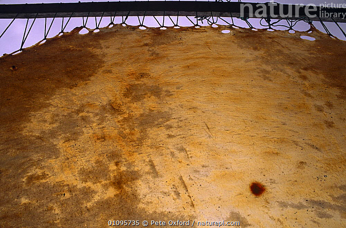 Stretched walrus skin for boats (Umiaks) St Lawrence Island, Bering Sea, Alaska USA  ,  BOATS,CULTURES,HORIZONTAL,MAMMALS,NORTH AMERICA,PINNIPEDS,SKIN,TRADITIONAL,TRIBES,USA, CARNIVORES , CARNIVORES  ,  Pete Oxford