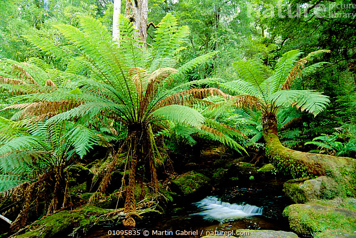 Soft tree fern {Balantium antarcticum} growing in montane forest Mt Field NP, Tasmania, Australia, AUSTRALIA, DICKSONIACEAE, FERNS, HORIZONTAL, LANDSCAPES, NP, PLANTS, PTERIDOPHYTES, RESERVE, RIVERS, SUMMER, WOODLANDS,National Park, Martin Gabriel