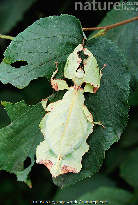 Giant leaf insect {Phyllium giganteum}, CAMOUFLAGE,IAR,INSECTS,LEAVES,MIMICRY,PHASMIDA,VERTICAL,INVERTEBRATES, Ingo Arndt