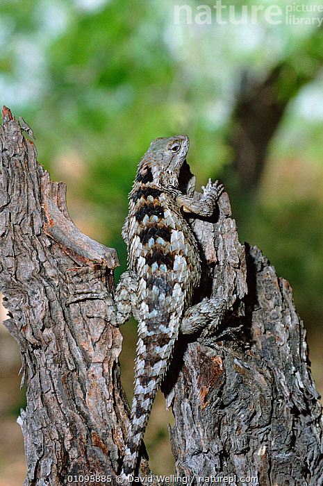 Texas spiny lizard {Sceloporus olivaceus} Texas, USA, North America, DESERTS,DW,LIZARDS,NORTH AMERICA,ONE,REPTILES,USA,VERTICAL, David Welling