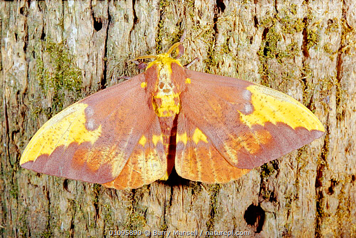 Imperial moth female on bark {Eacles imperialis} Florida, USA, EMPEROR-MOTHS, FEMALES, LEPIDOPTERA, MOTHS, PORTRAITS, USA, WINGS, BARK, HORIZONTAL, INSECTS, INVERTEBRATES, PLANTS,North America, Barry Mansell