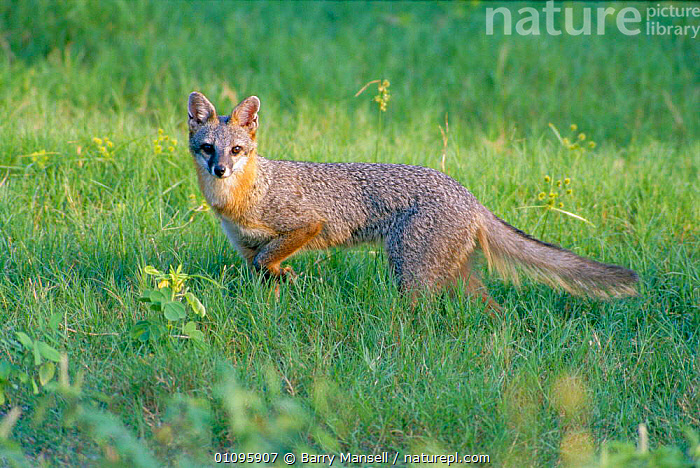 Eastern grey fox {Urocyon cineroargenteus} Florida, USA, BMA,CARNIVORES,FLORIDA,HORIZONTAL,MAMMALS,NORTH AMERICA,PORTRAITS,USA,DOGS,CANIDS, Barry Mansell
