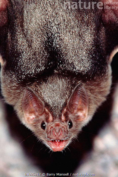 Common vampire bat portrait {Desmodus rotundus} Sonora, Mexico, Central America, BMA,CENTRAL AMERICA,CHIROPTERA,FACES,HEAD,HEADS,MAMMALS,MEXICO,PORTRAIT,PORTRAITS,VERTICAL, Barry Mansell