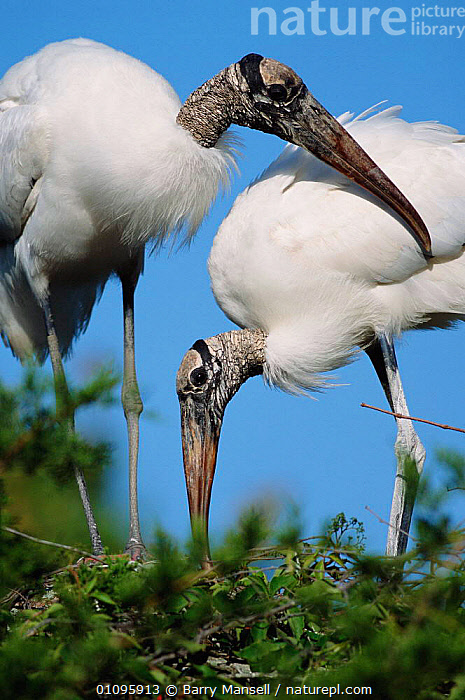 American wood ibis pair at nest {Mycteria americana} Everglades, Florida, USA, North America, BIRDS,BMA,EVERGLADES,FLORIDA,MALE FEMALE PAIR,NESTS,RESERVE,TWO,USA,VERTICAL,,WHITE,NORTH AMERICA, Barry Mansell