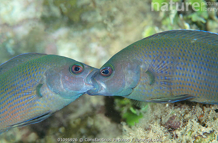 Male Brown dottyback fish engaged in territorial fight {Pseudochromis fuscus} Sulawesi, AGGRESSION,BEHAVIOUR,CPE,EYES,FACES,FIGHT,FIGHTING,FISH,FUSCUS,HEADS,HORIZONTAL,INDONESIA,INDO PACIFIC,MALES,MARINE,MOUTH,MOUTHS,OSTEICHTHYES,TERRITORIAL,TWO,UNDERWATER,ASIA,CONCEPTS, Constantinos Petrinos