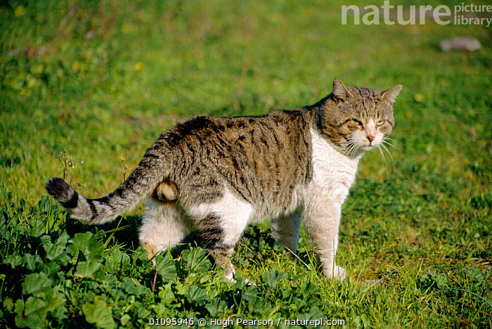 Feral tomcat {Felis catus} Rome, Italy, CARNIVORES,EUROPE,FERAL,HORIZONTAL,HPE,ITALY,MALE,MALES,MAMMALS, Hugh Pearson